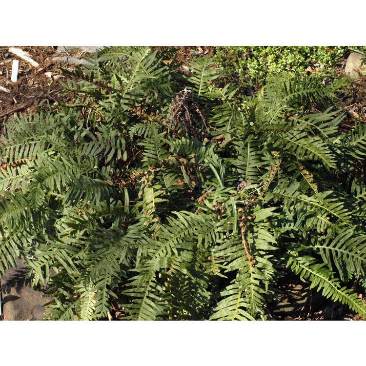 Polypodium vulgare 'Uulong Island'