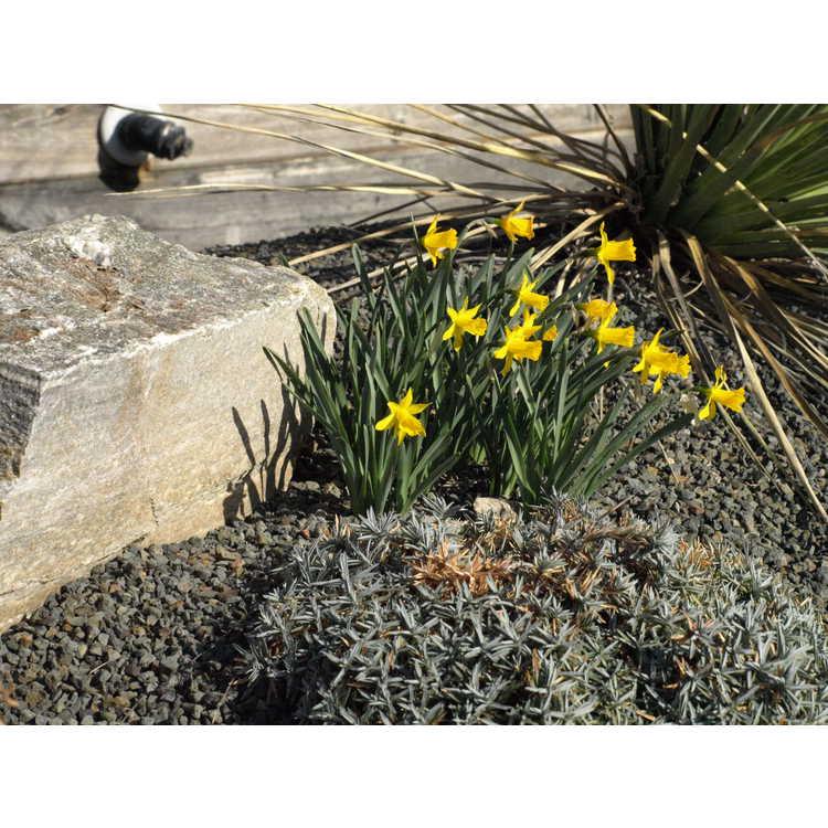 Narcissus 'Small Talk'