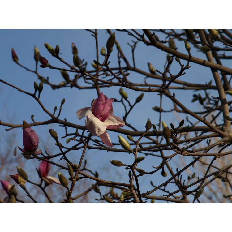 Magnolia 'Eskimo' - Kehr hybrid magnolia