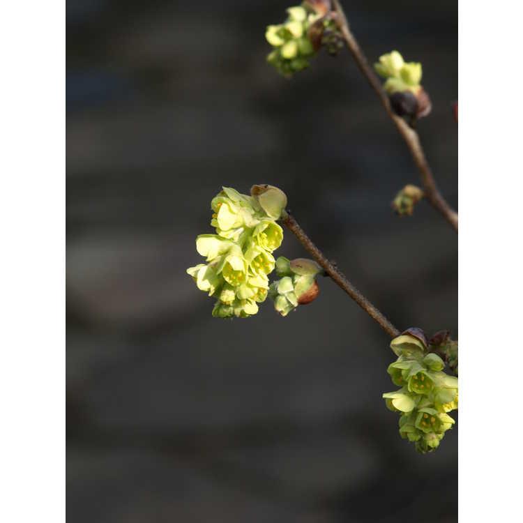 Corylopsis sinensis var. calvescens f. veitchiana - Veitch's winterhazel