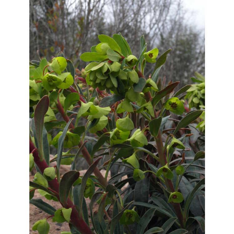 Euphorbia 'Canyon Gold' - spurge