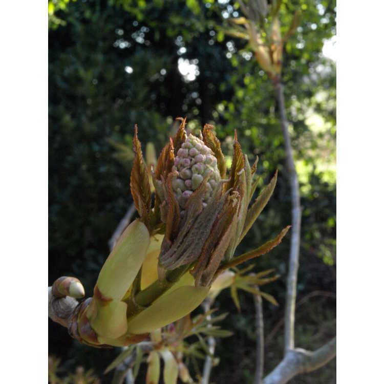 Aesculus pavia 'Splendens' - scarlet buckeye