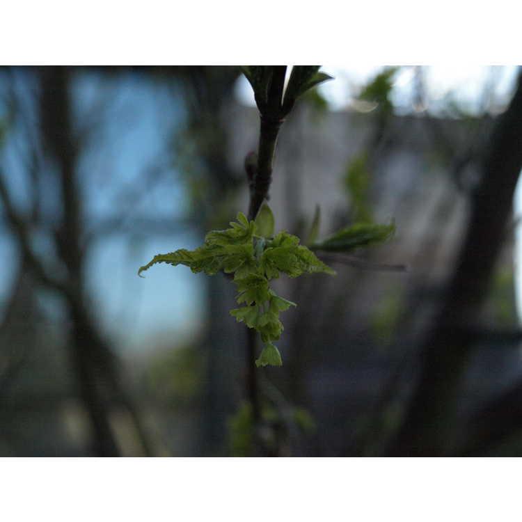 Acer caudatifolium - Kawakami maple