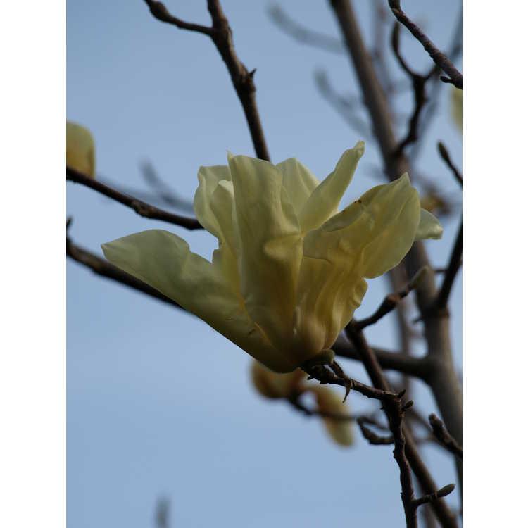 Magnolia 'Sun Ray' - Kehr hybrid magnolia