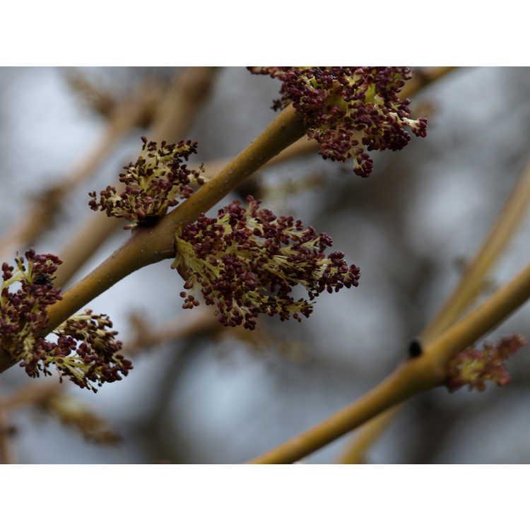 Fraxinus excelsior Handes Golden Desert