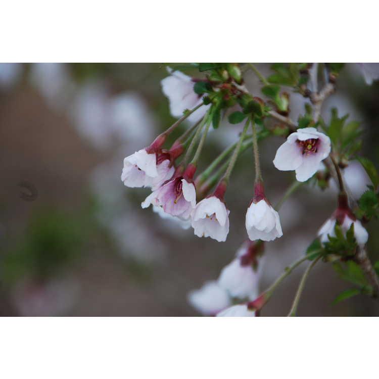 Prunus incisa 'Kojo-no-mai' - Little Twist contorted Fuji cherry