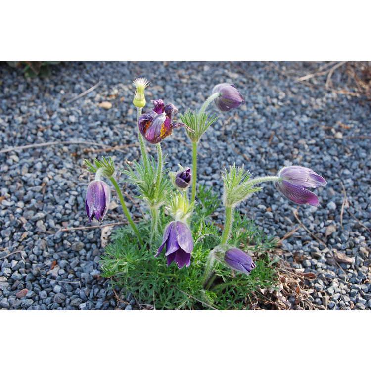 Pulsatilla halleri subsp. styriaca - Steiermark pasque-flower