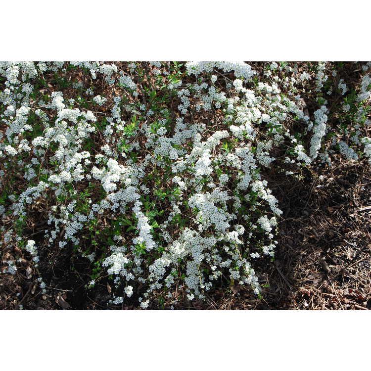 Spiraea ×cinerea 'Grefsheim' - garland spiraea
