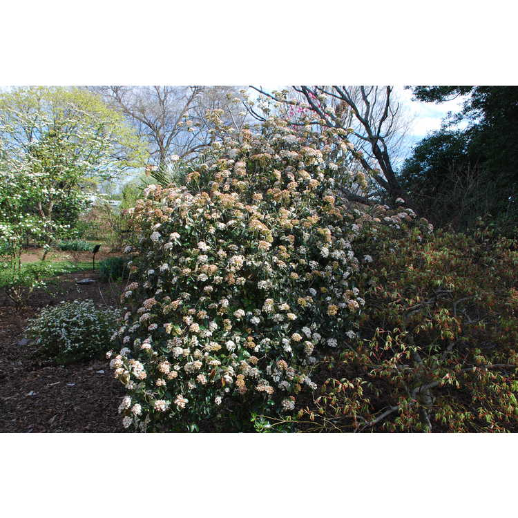 Viburnum ×burkwoodii 'Conoy' - Egolf hybrid viburnum