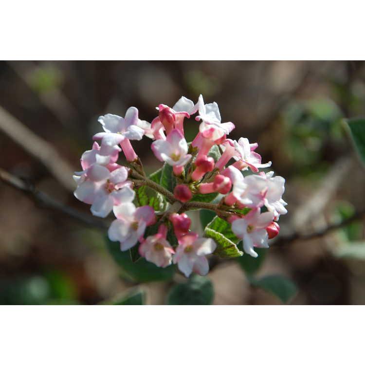 Viburnum bitchiuense - Bitchiu viburnum