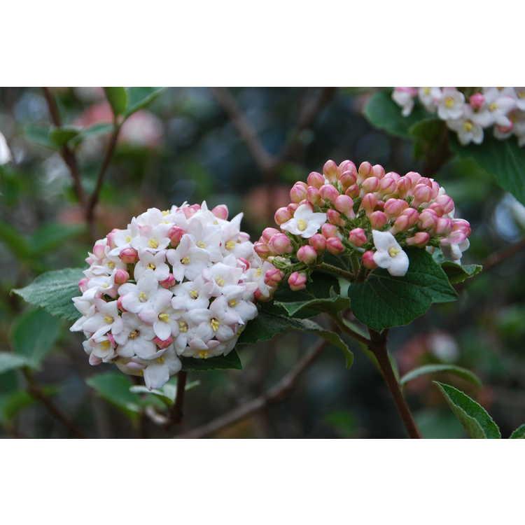 Viburnum ×carlcephalum 'Cayuga' - Egolf hybrid fragrant viburnum
