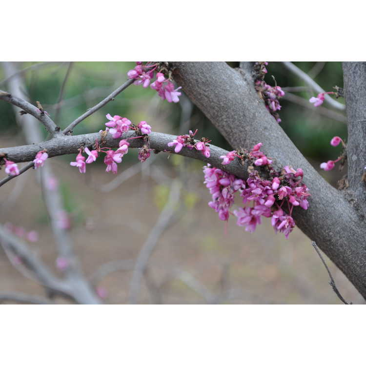 Cercis canadensis Tom Thumb