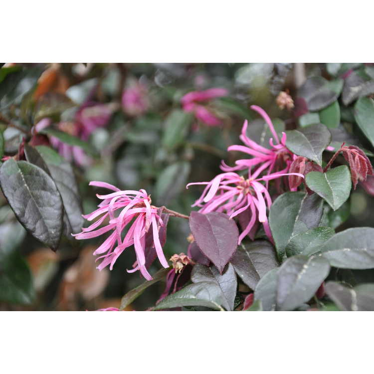 Loropetalum chinense var. rubrum 'Suzanne' - purple-leaf Chinese fringe-flower