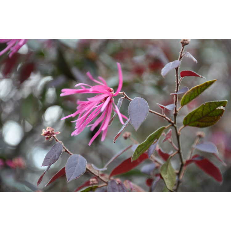 Loropetalum chinense rubrum Pipas Red