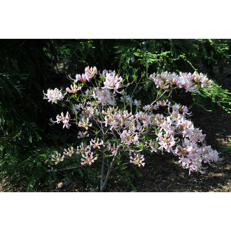 Rhododendron periclymenoides 'Lavender Girl'