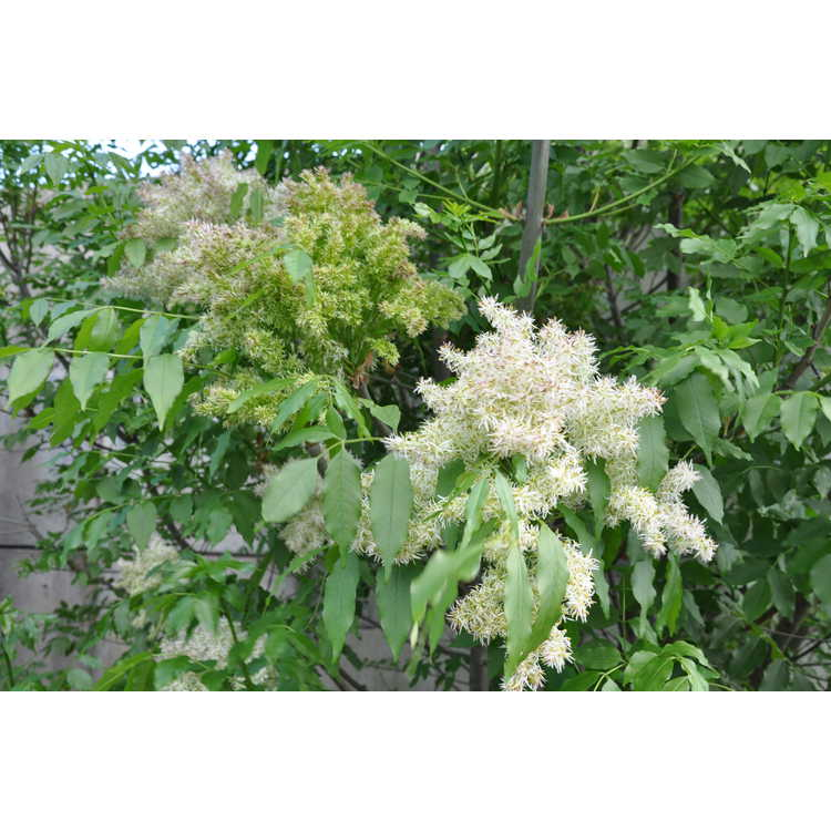Fraxinus insularis - Chinese flowering ash