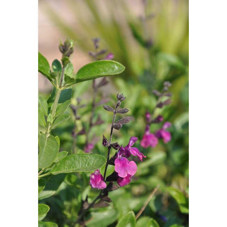 Salvia greggii Diane