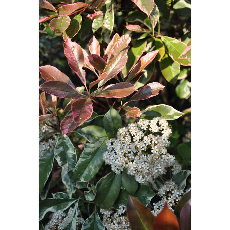 Photinia ×fraseri 'Cassini'
