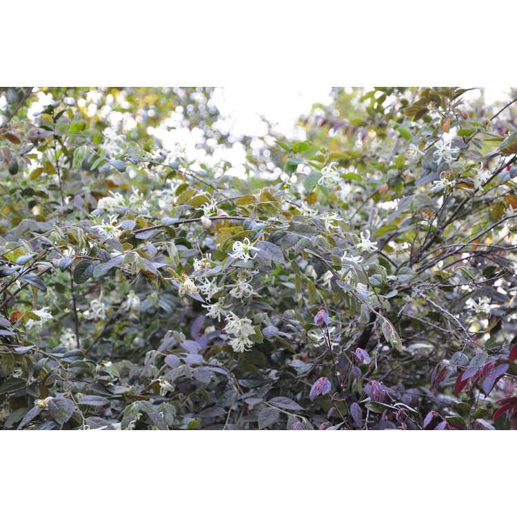 Loropetalum chinense rubrum Bicolor