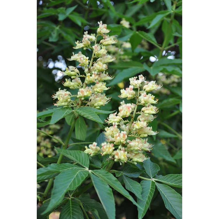 Aesculus 'Homestead' - homestead buckeye