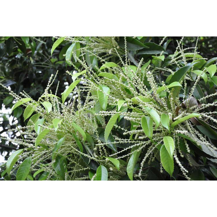 Castanopsis sclerophylla