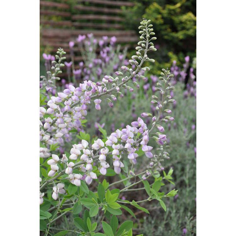 Baptisia lavender