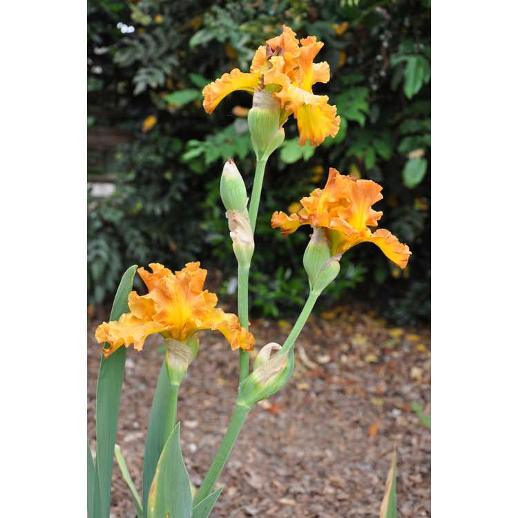 Iris Golden Panther