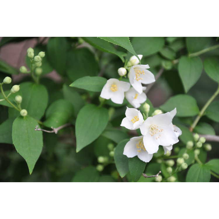 Philadelphus scaber - rough mock-orange