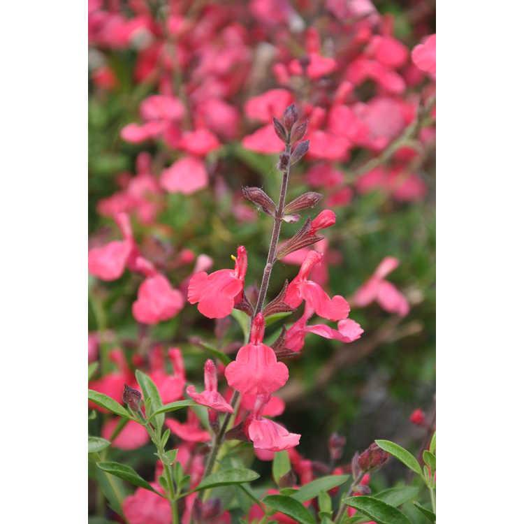 Salvia greggii 'Lipstick' - autumn sage