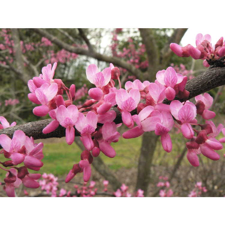 Cercis canadensis Pinkbud
