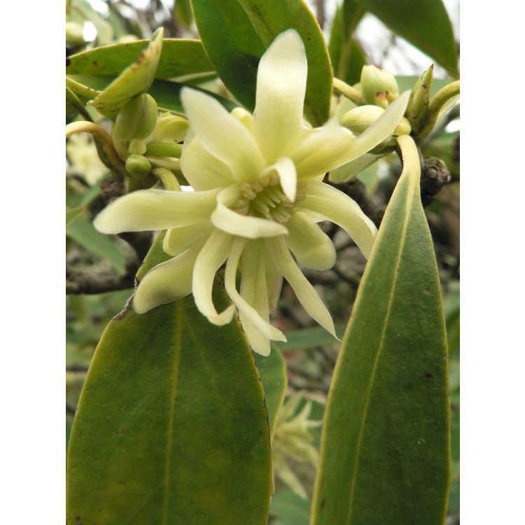 Illicium floridanum f. album - white Florida anise