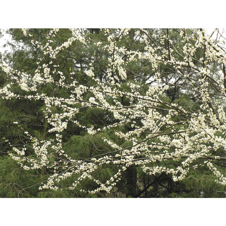 Cercis canadensis f. alba - white eastern redbud