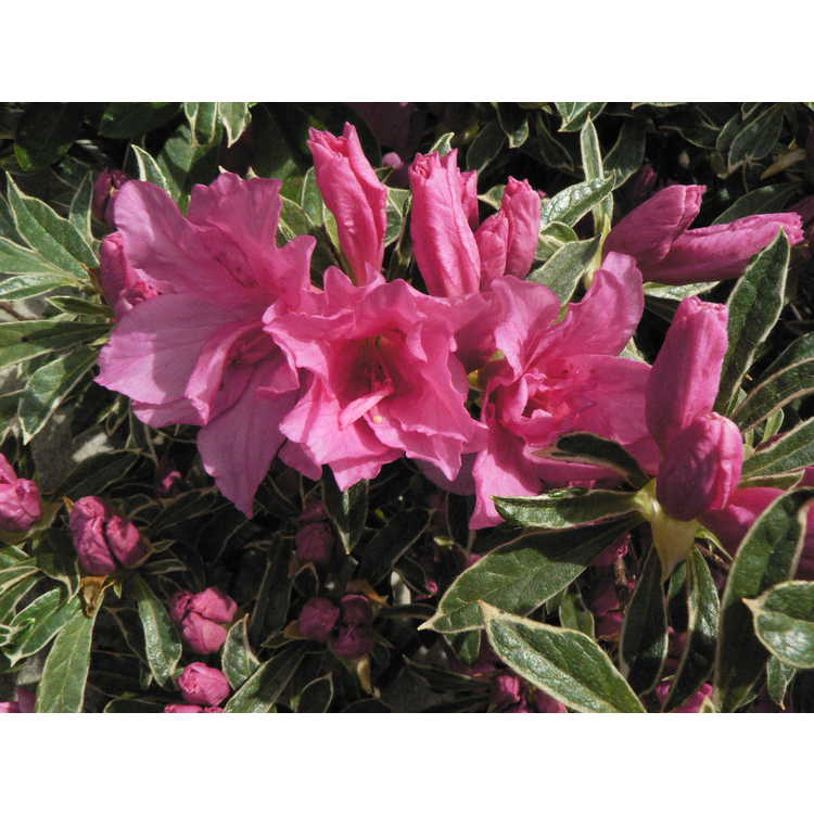 Rhododendron 'Southern Belle'