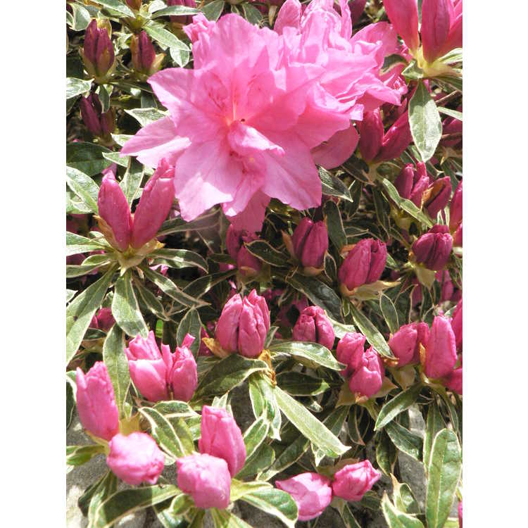 Rhododendron 'Southern Belle' - Rutherfordiana hybrid azalea