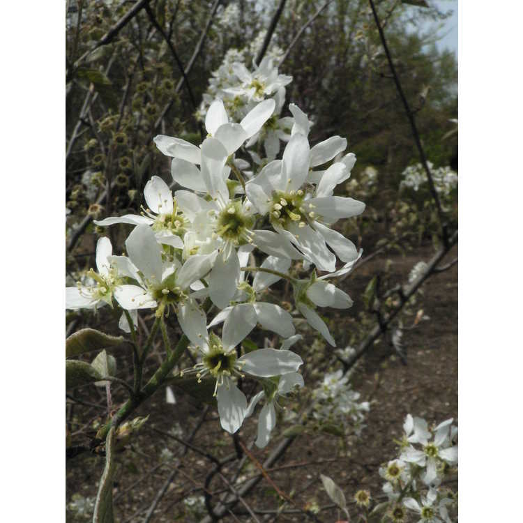 Amelanchier ×grandiflora 'Silver Fountain' - serviceberry