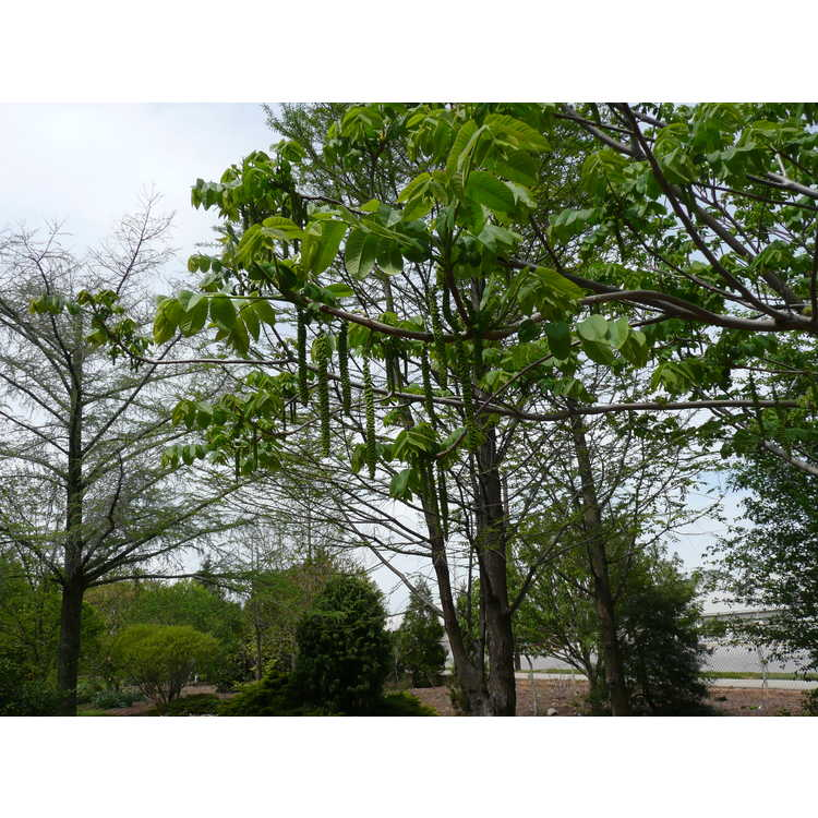 Juglans ailanthifolia - Japanese walnut