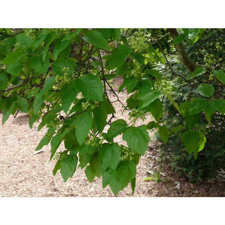Acer tataricum subsp. tataricum - Tatarian maple