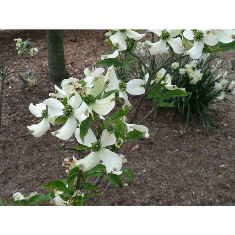 Cornus florida 'Appalachian Spring' - flowering dogwood