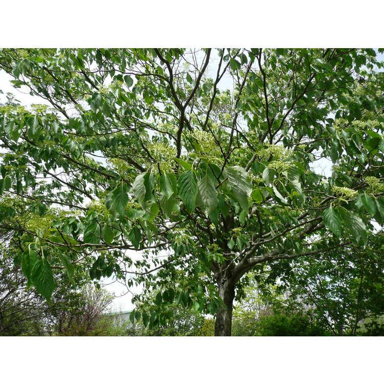 Cornus controversa - giant dogwood