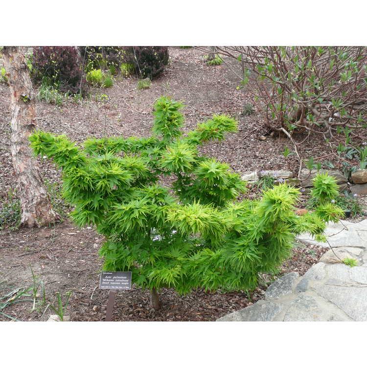 Acer palmatum 'Mikawa Yatsubusa' - dwarf Japanese maple