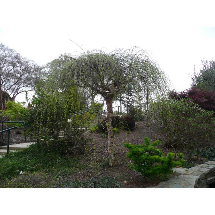 Betula nigra 'Summer Cascade'