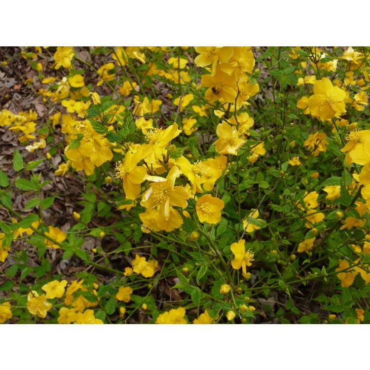 Kerria japonica Honshu