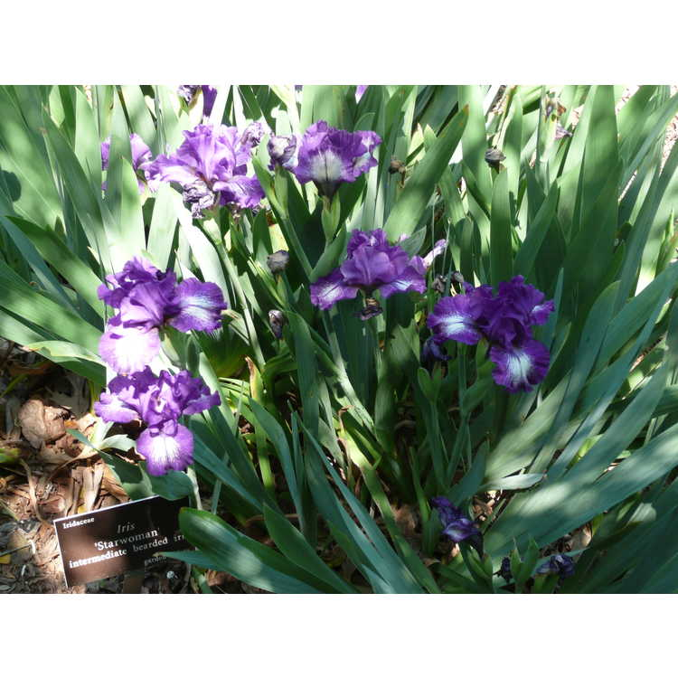 Iris 'Starwoman' - intermediate bearded iris