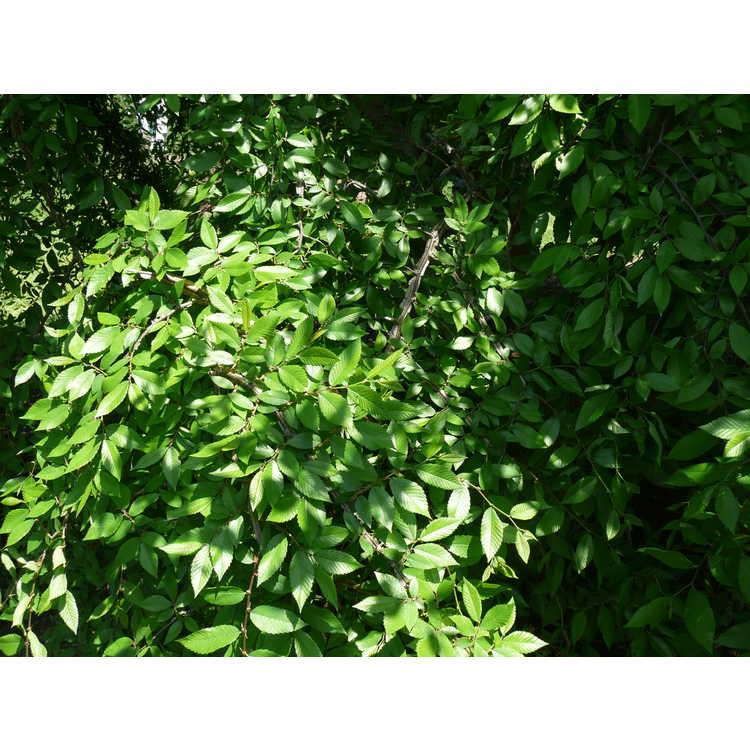 Ulmus alata 'Lace Parasol' - weeping winged elm