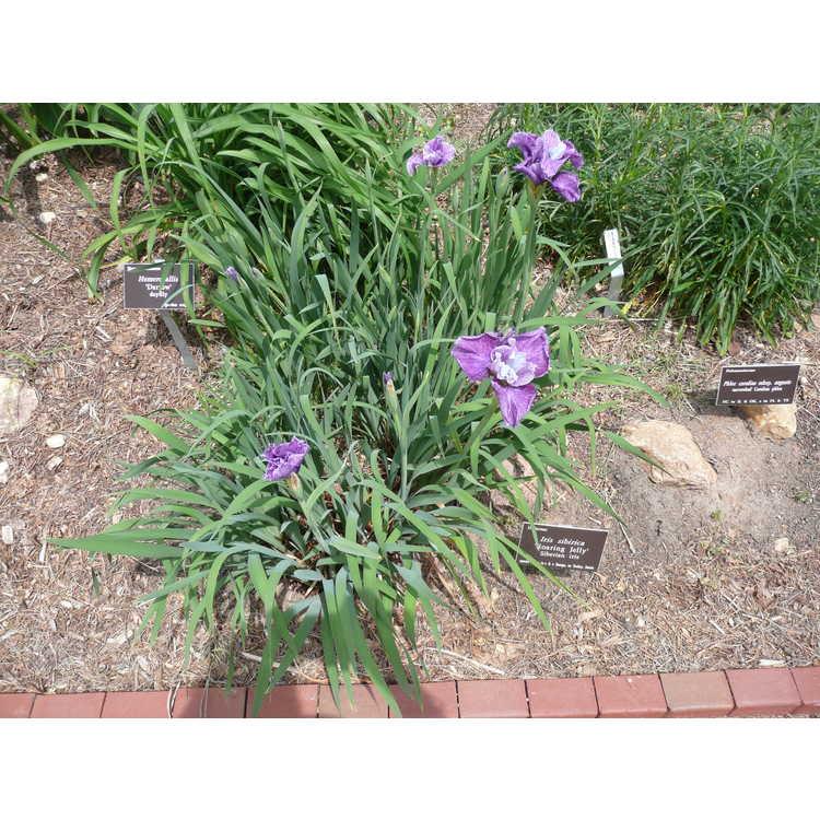 Iris sibirica Roaring Jelly