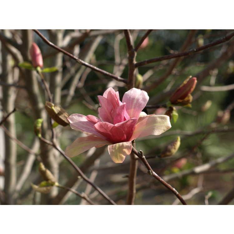 Magnolia 'Coral Lake' - Leach hybrid magnolia