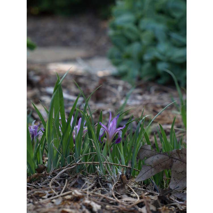 Iris ruthenica - dwarf iris