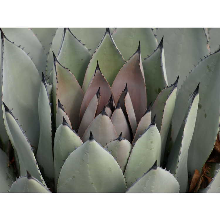 Agave parryi 'J.C. Raulston'