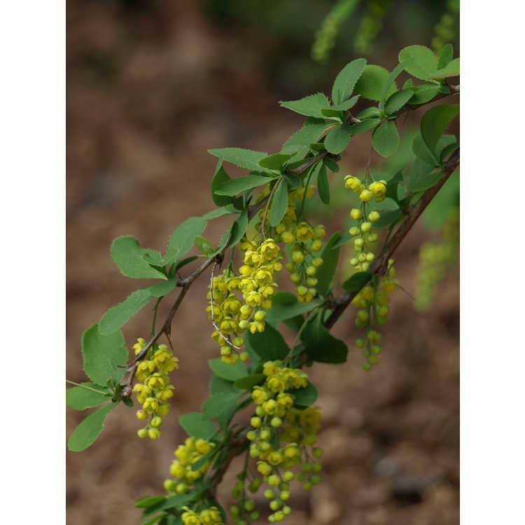 Berberis chinensis