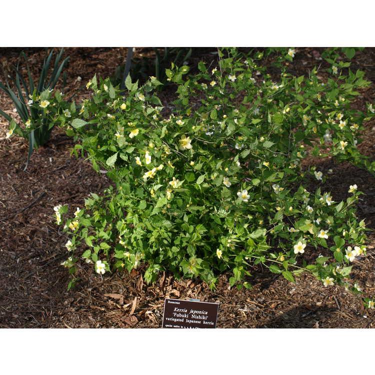 Kerria japonica 'Fubuki Nishiki'